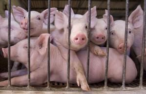 Pig Farm Near Buenos Aires, Argentina