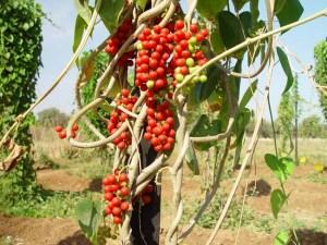 Giloe – Tinospora Cordifolia