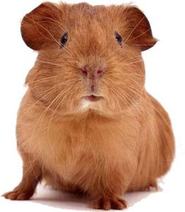The Guinea Pig Study Suggested That Contact Was the Culprit!