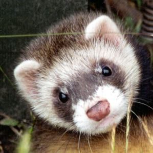 No evidence of reassortment between the 2009 H1N1 and seasonal influenza strains found in ferret study