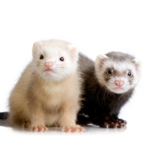 Ferrets are apparently sensitive toward respiratory illness, have been used in labs to see how the flu will affect people, he said. But this may be the first case anywhere of a ferret catching the flu from its owner, without the help of lab technicians, he said. You will be happy to know the ferret is recovering.