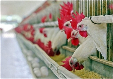 ChickensBrazil
