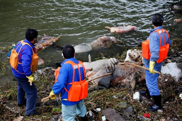 However I am still thinking of the thousands of dead pigs floating in the Jiapingtang, a tributary of the Huangpu river which supplies drinking water to Shanghai.  What killed them? Apparently 34 pig carcasses were tested and were negative for H7N9.  I am still not convinced.